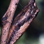 Tiger_Swallowtail_pupa