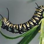 caterpillar eating 2