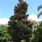 magnolia-dd-blanchard